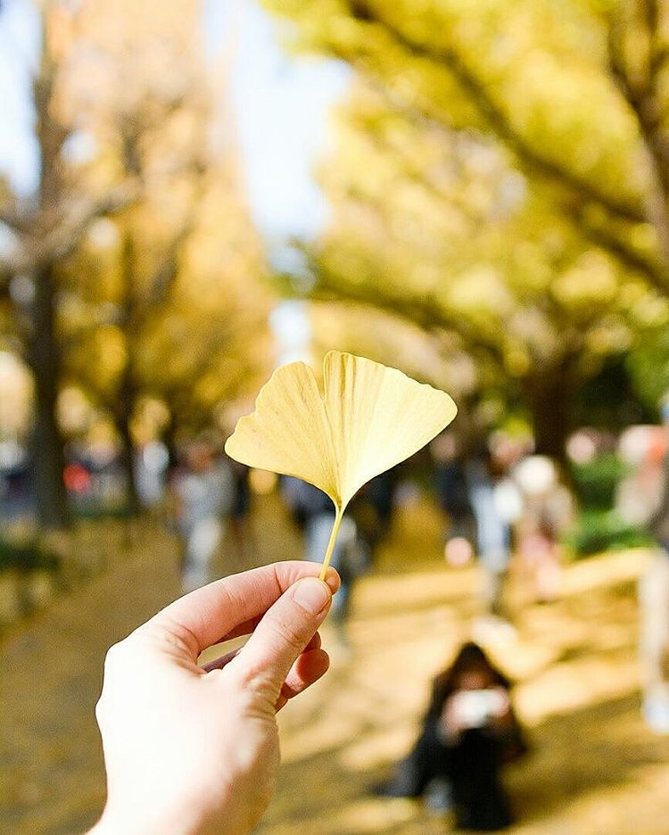 Icho Namiki or Ginkgo Avenue is a good spot tohellip