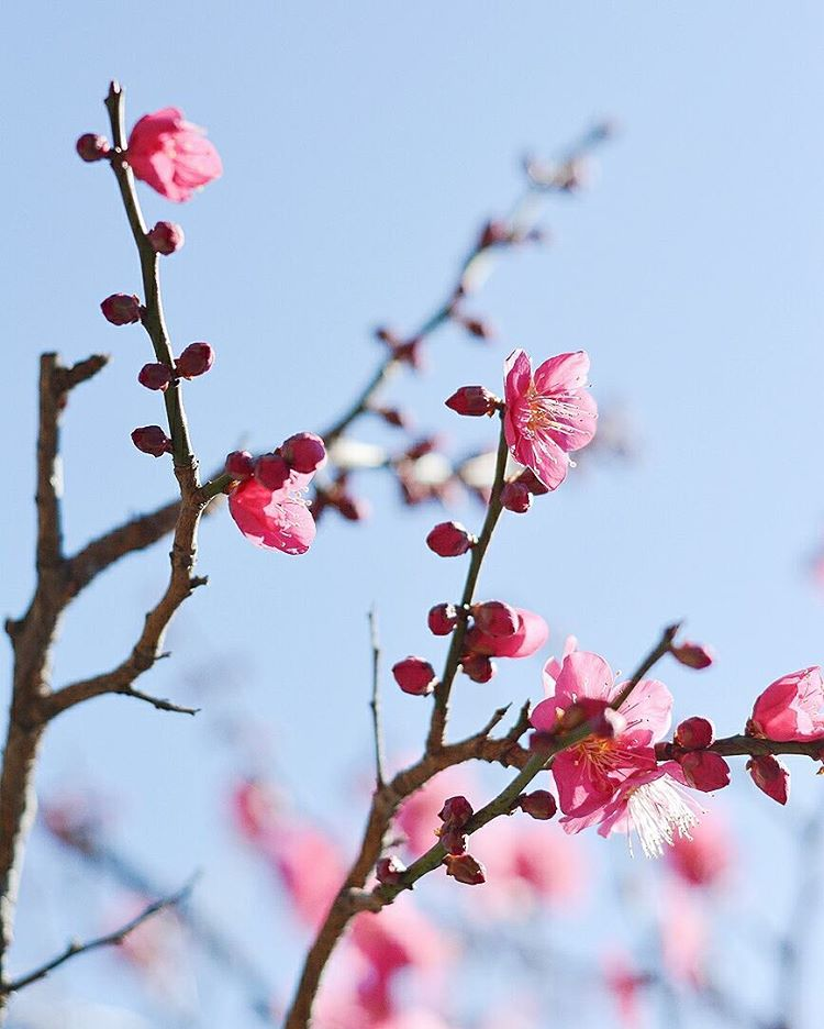 Start of spring in Tokyo  The plum is associatedhellip