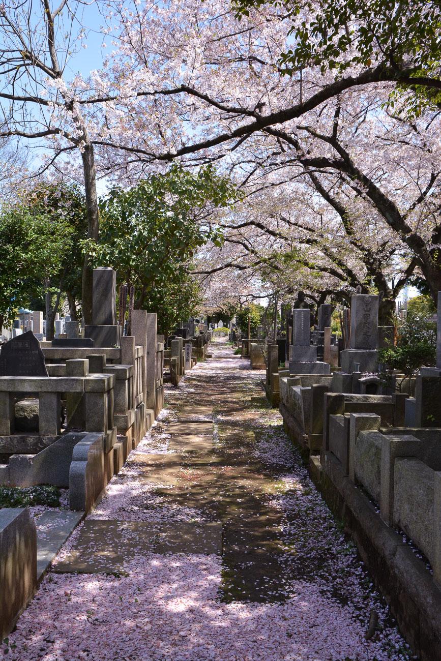 Le cimetière Yanaka-reien pendant les cerisiers en fleurs dans le quartier de Yanaka à Tokyo