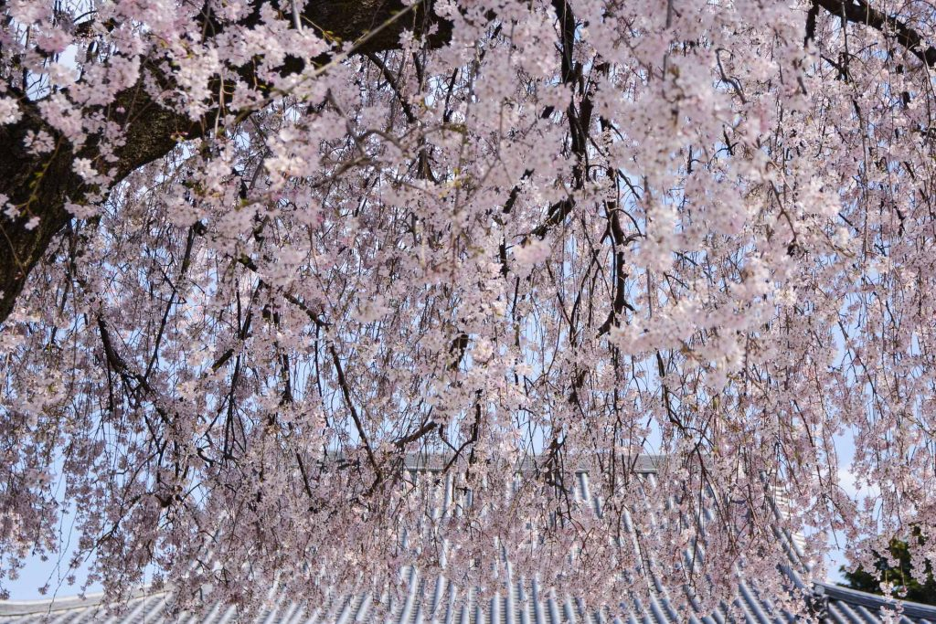 temple avec cerisiers en fleurs dans le quartier de Yanaka à Tokyo