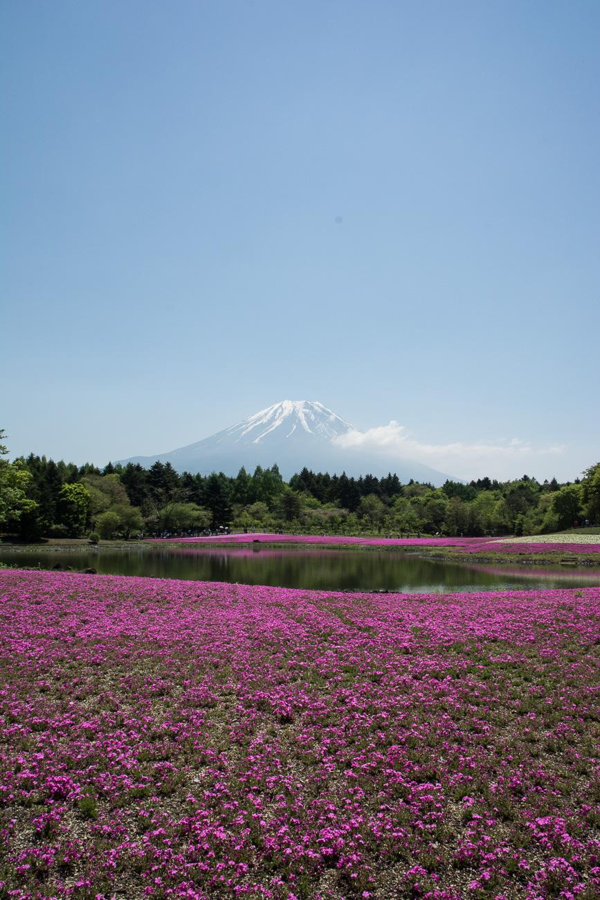 le Fuji Shibazakura Festival à proximité de Tokyo dans la région des lacs au pied du mont Fuji