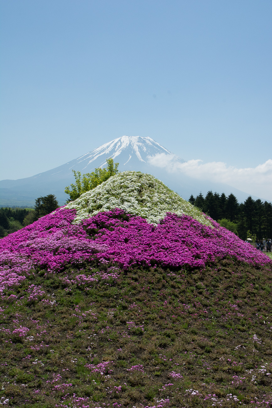 how to get to fuji shibazakura festival from tokyo