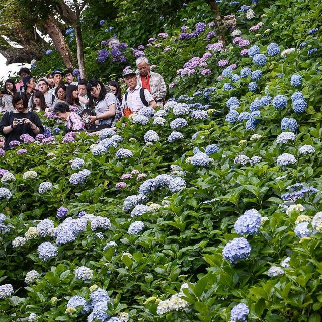 Hydrangeas at Hase Dera in Kamakura   vsco vscocamhellip