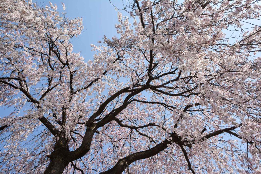 voyage tokyo hanami cerisiers fleurs yanaka
