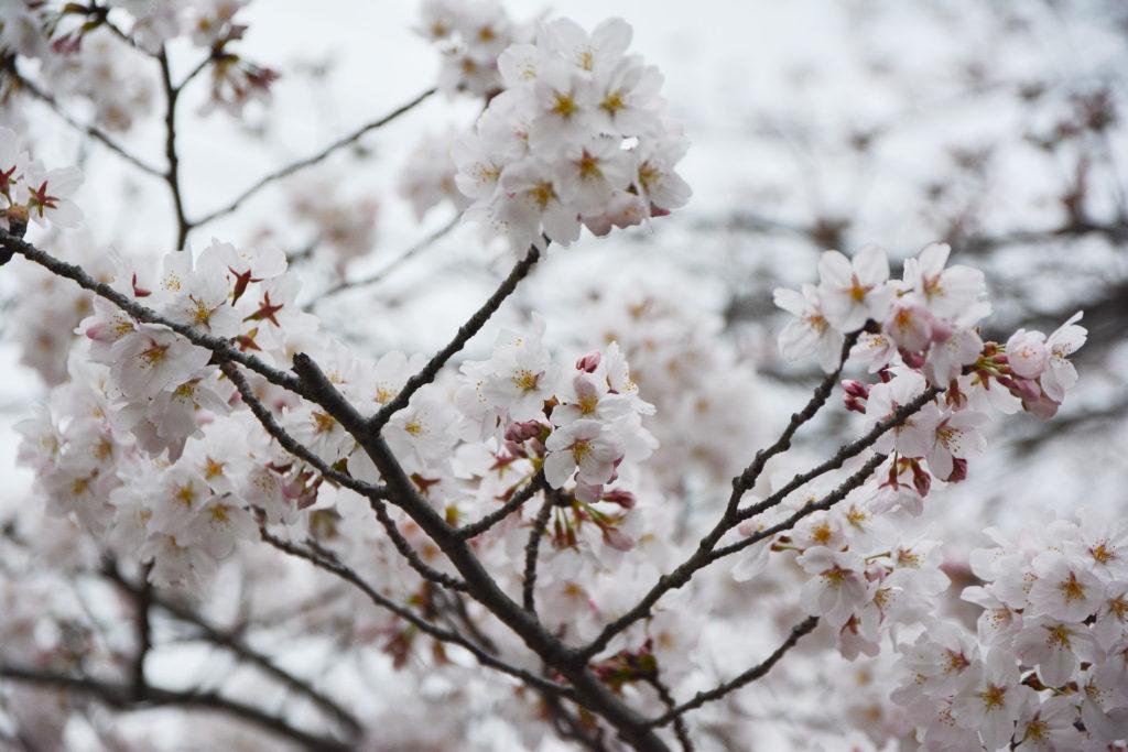 Hanami Les 15 Endroits Ou Voir Les Cerisiers En Fleurs A Kyoto