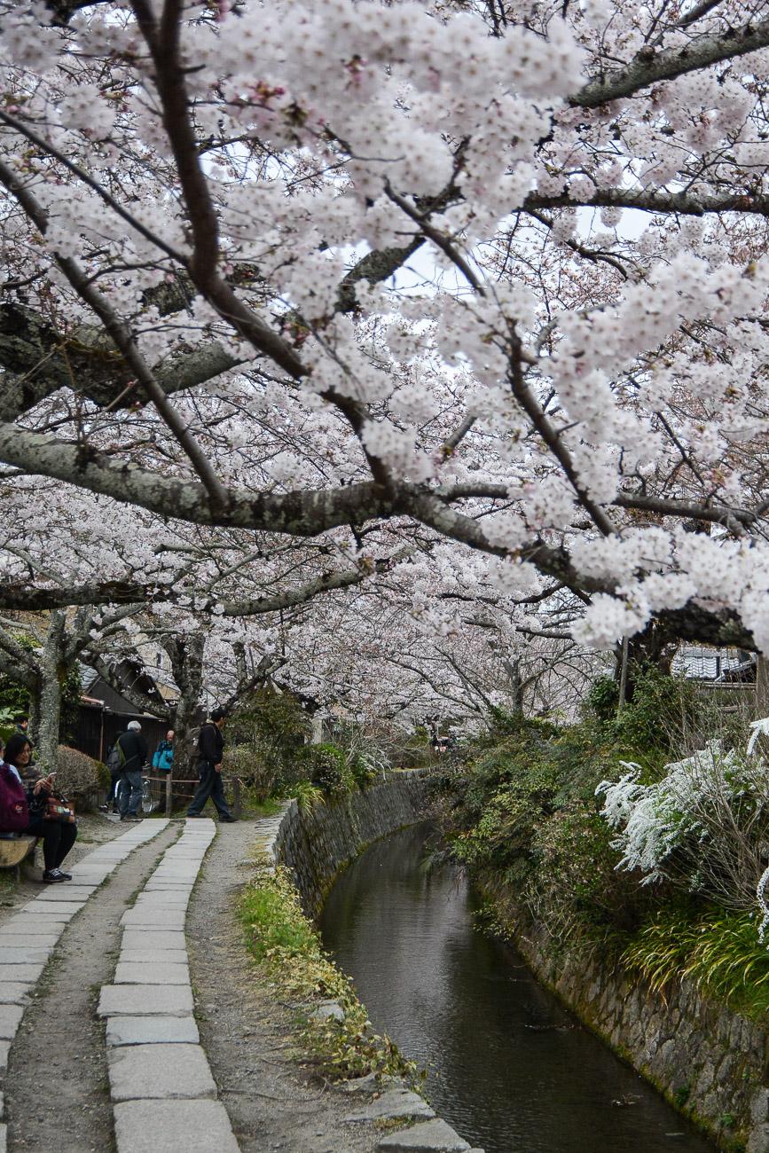 Le chemin des philosophes (Tetsugaku-no-Michi) est un des meilleurs endroits pour observer les cerisiers en fleurs pendant Hanami à Kyoto au Japon