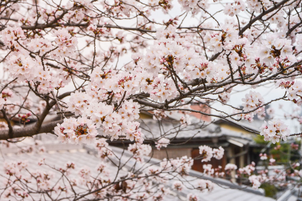 best spot hanami kyoto cherry blossoms