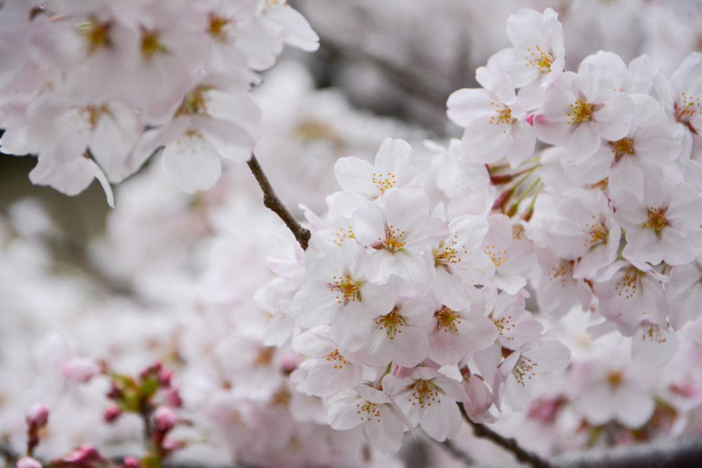 Keage Incline est l'un des meilleurs endroits pour voir les cerisiers en fleurs à Kyoto pendant Hanami