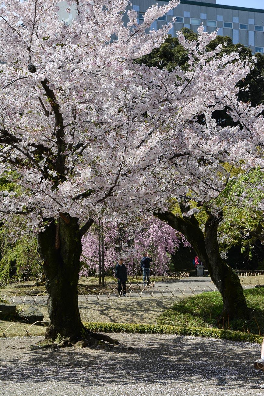 voyage tokyo hanami cerisiers fleurs Koishikawa Korakuen