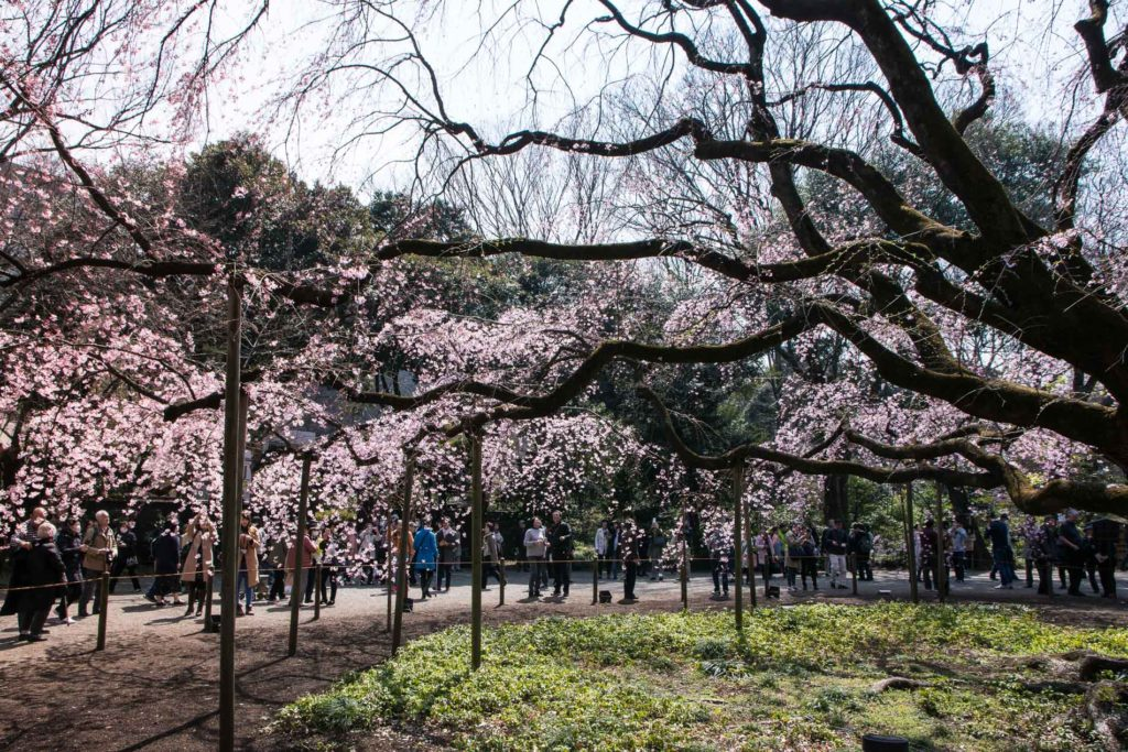 voyage tokyo hanami cerisiers fleurs Rikugien Garden