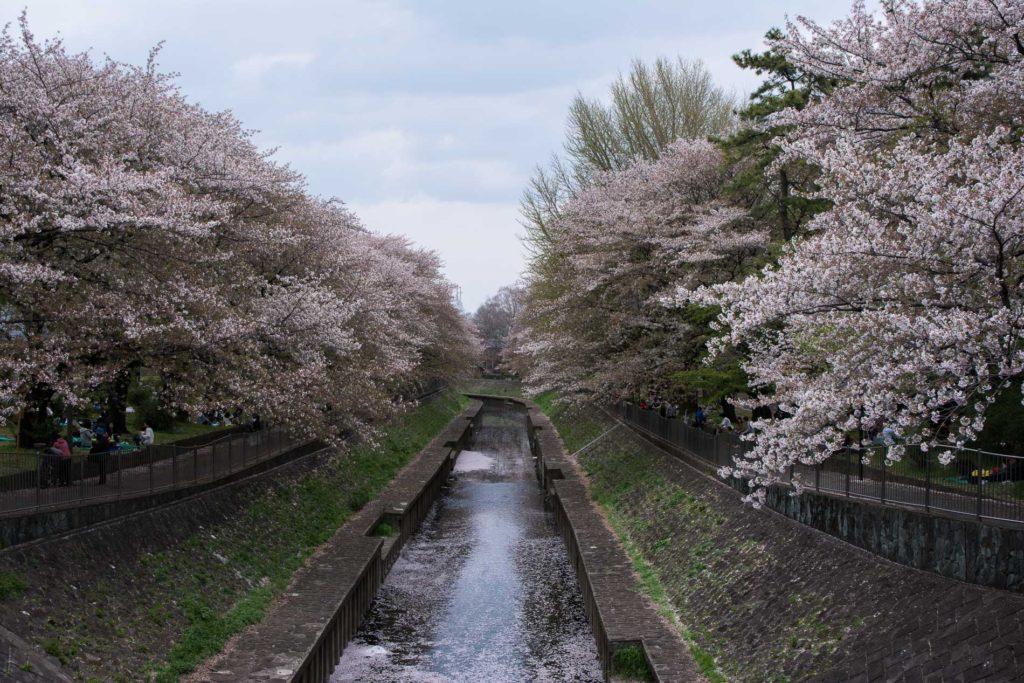 voyage tokyo hanami cerisiers fleurs Zenpukuji River