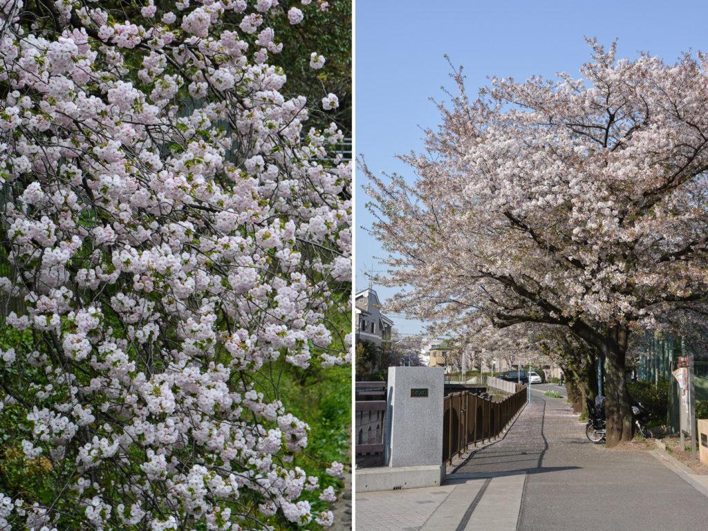 voyage tokyo hanami cerisiers voyage tokyo hanami cerisiers fleurs Zenpukuji River
