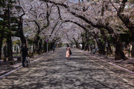 voyage tokyo hanami cerisiers fleurs cimetière yanaka