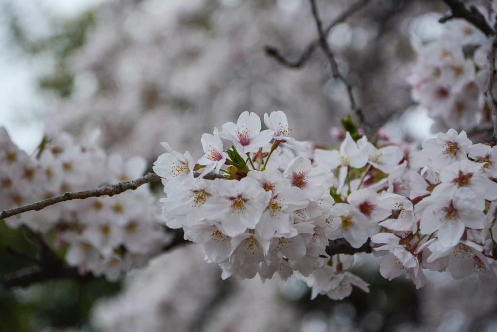 voyage tokyo hanami cerisiers flevoyage tokyo hanami cerisiers fleurs cimetière yanaka