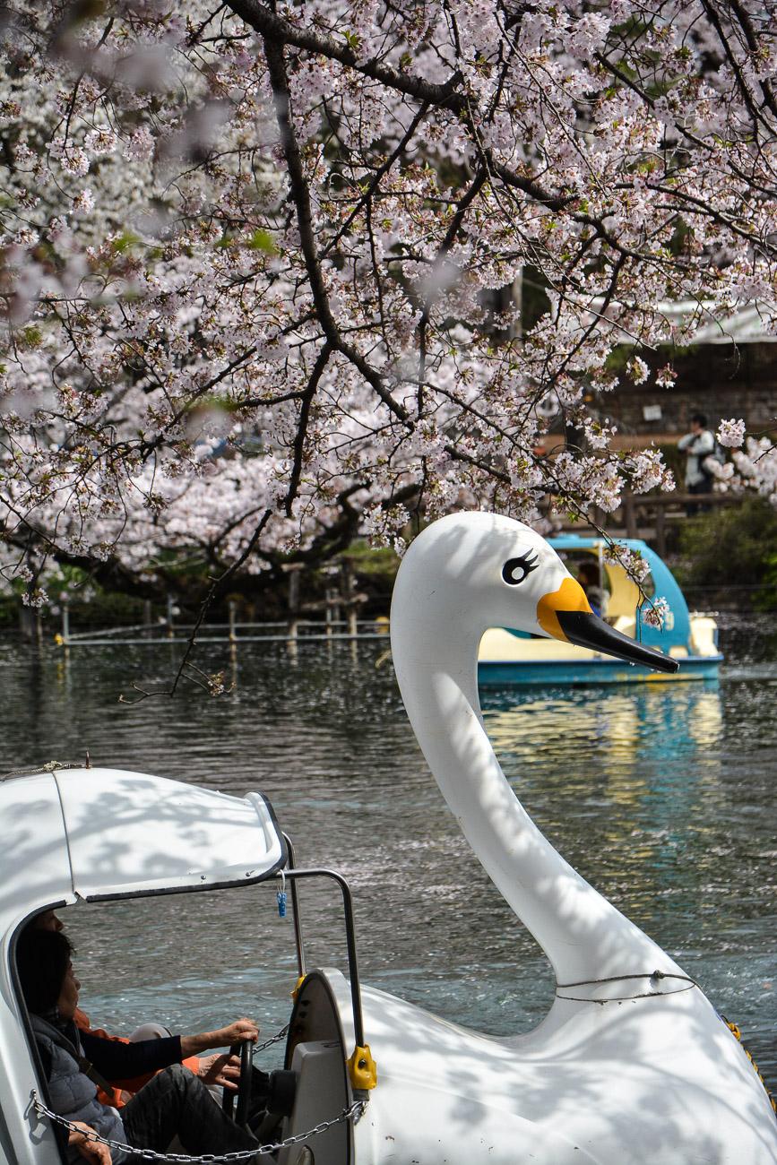 voyage tokyo hanami cerisiers fleurs Inokashira Park