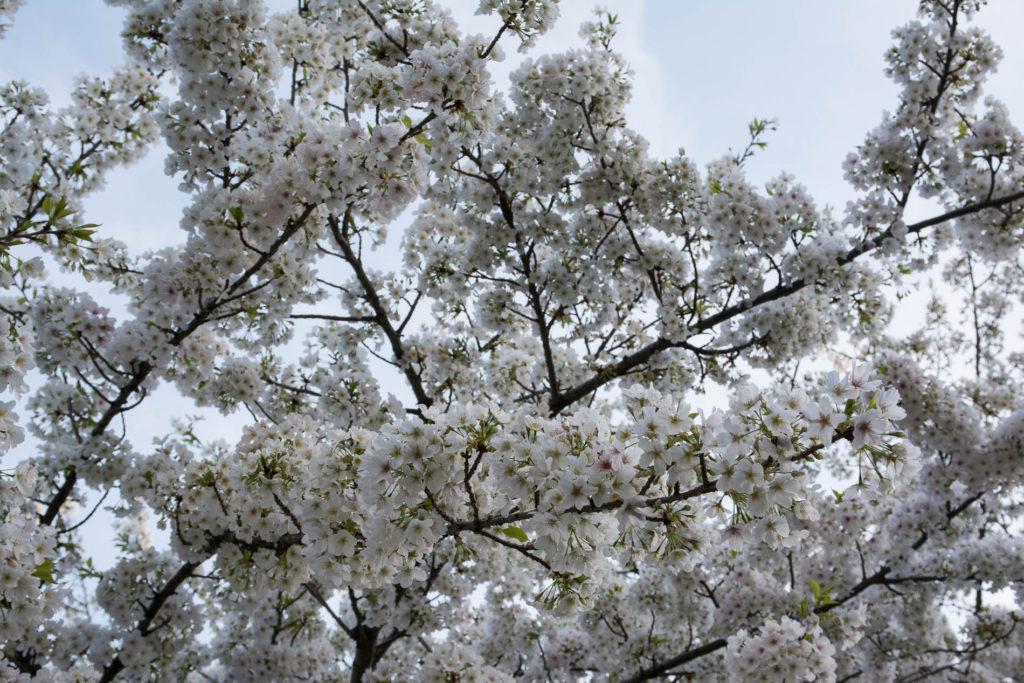 voyage tokyo hanami cerisiers fleurs jardin imperial