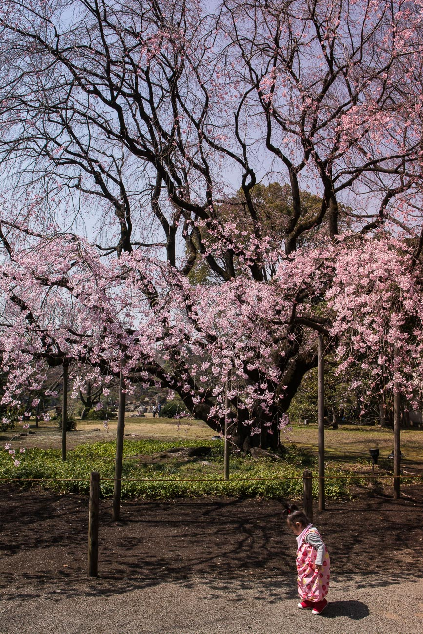 voyage tokyo hanami cerisiers flvoyage tokyo hanami cerisiers fleurs Rikugien Garden