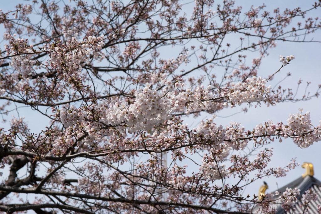 voyage tokyo hanami cerisiers fleurs senso ji