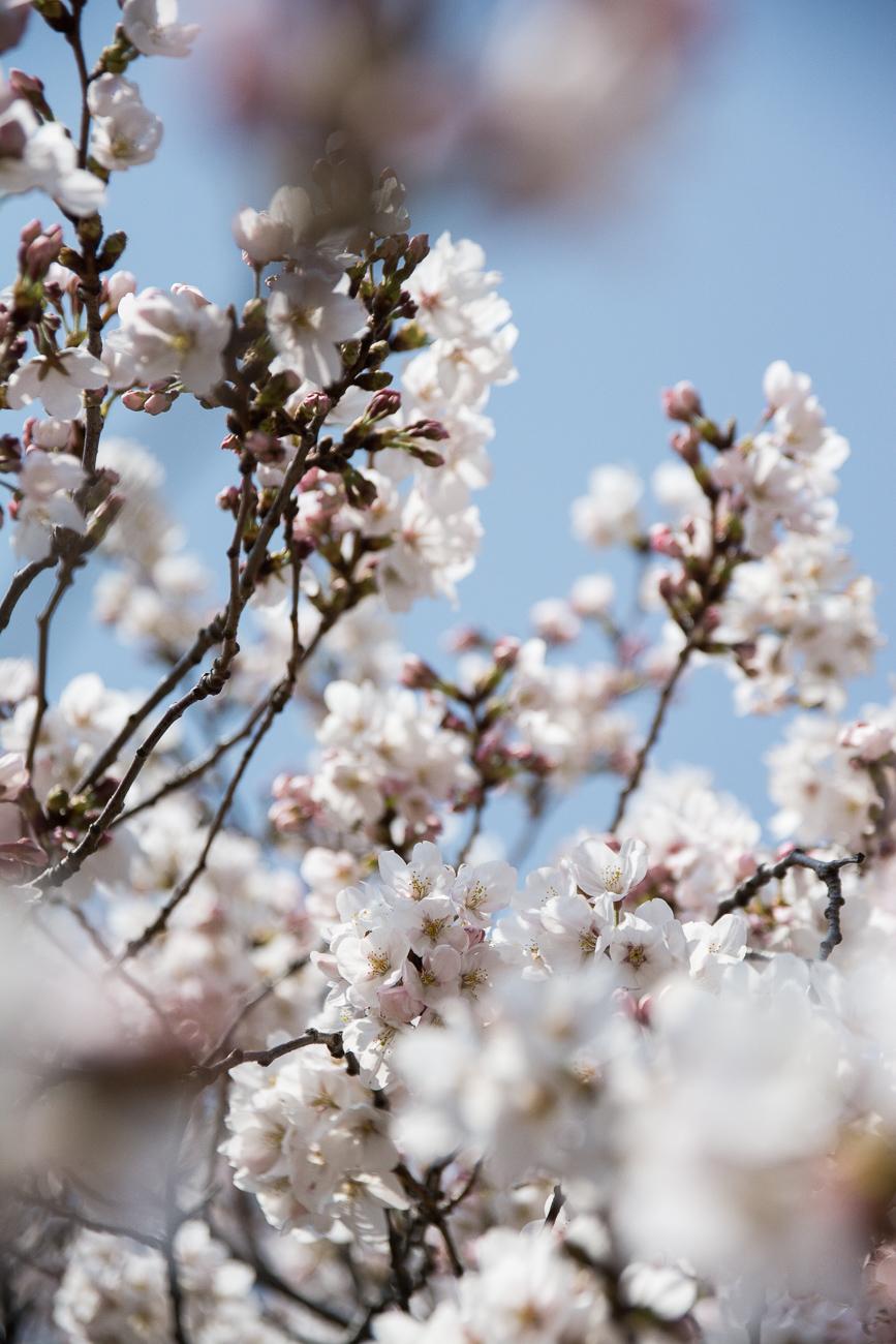 voyage tokyo hanami cerisiers fleurs shinjuku gyoen