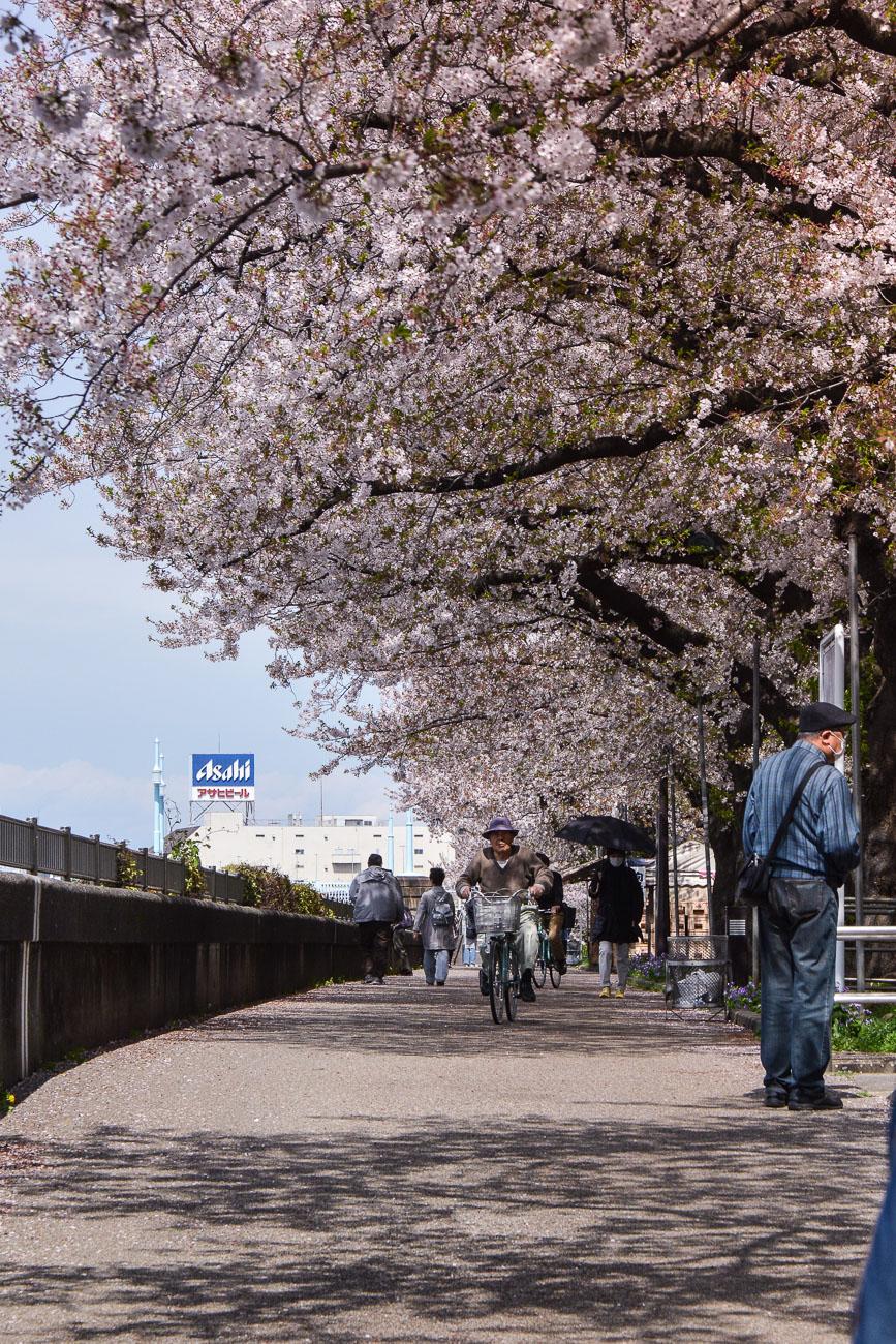 voyage tokyo hanami cerisiers fleurs sumida park