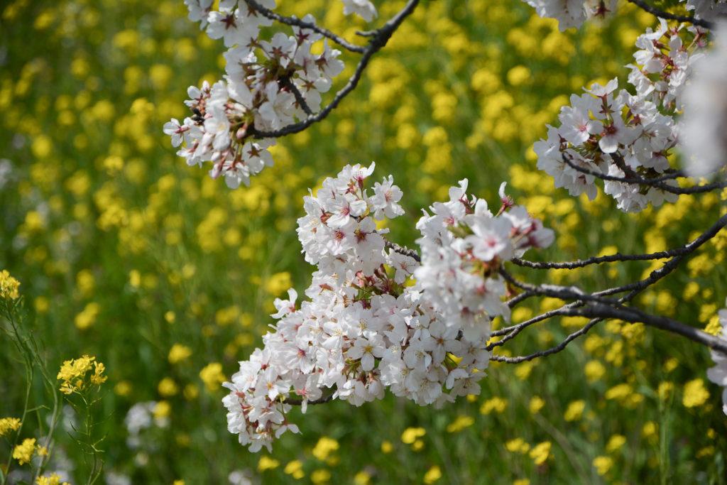 voyage tokyo hanami cerisiers fleuvoyage tokyo hanami cerisiers fleurs tamagawa river