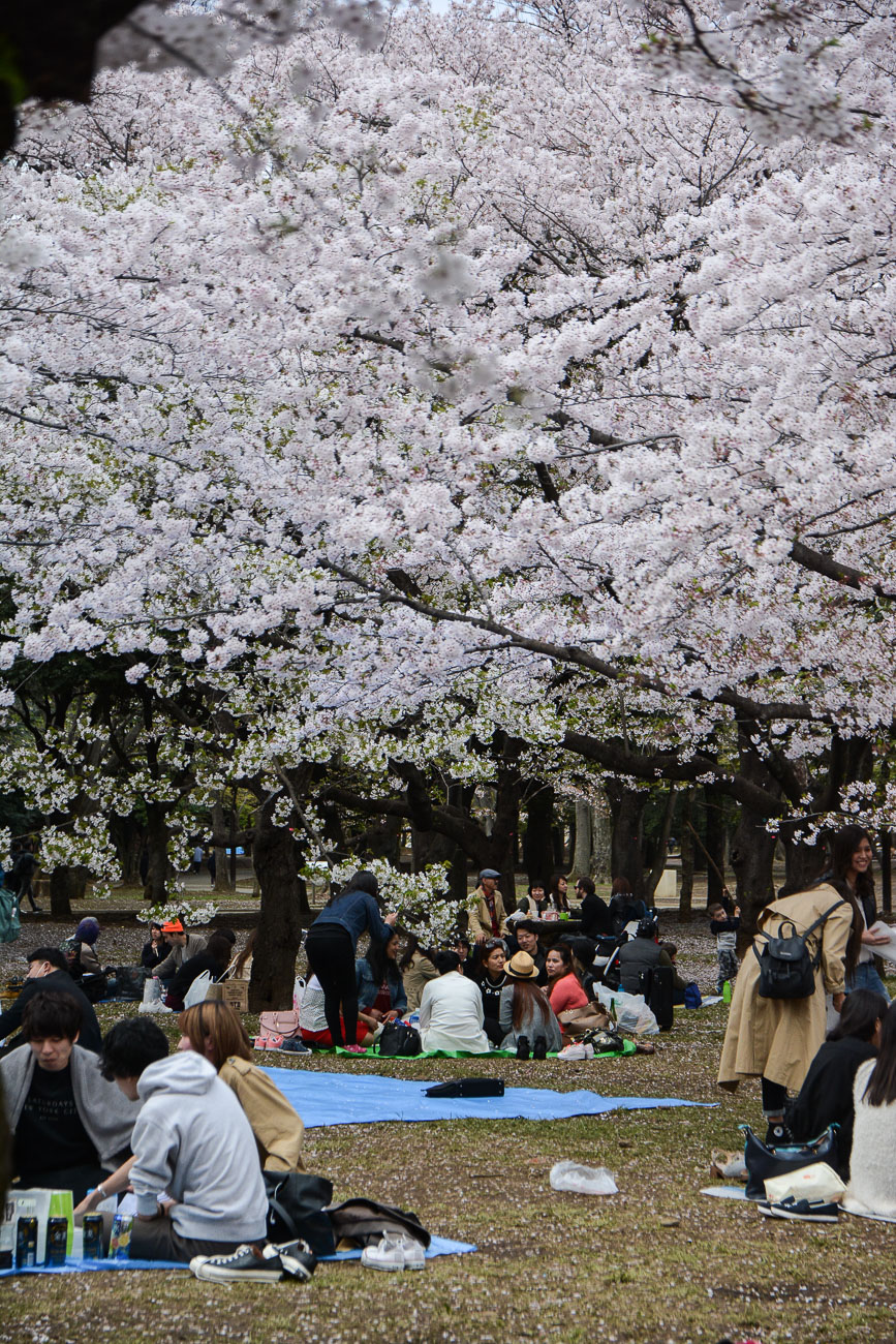 voyage tokyo hanami cerisiers fleurs yoyogi park